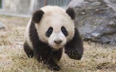 Download wallpapers little panda, cute animals, bear cub, panda, china, panda cub