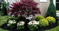 Japanese Maple with white Astilbe | Wironen Inspiration Board | Pinterest | Gardens, Garden borders and Front yards