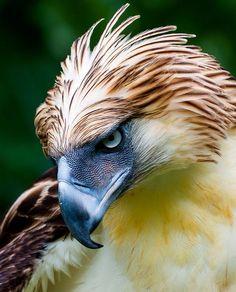 Pithecophaga jefferyi (Philippine Eagle)