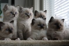 I seriously love ragdoll kittens. best images ideas about ragdoll kitten - most affectionate cat breeds - Tap the link now to see all of our cool cat collections! Cute Little Kittens, Cute Kittens, Cats And Kittens, Fluffy Cat Breeds, Best Cat Breeds, Pretty Cats, Beautiful Cats, Animals Beautiful, I Love Cats