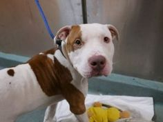 SUPER URGENT 01/13/17 **ON PUBLIC LIST** ...a puppy  My name is HAZITO. My Animal ID # is A1100795. I am a male tan and white am pit bull ter mix. The shelter thinks I am about 1 YEAR 1 MONTH old.  I came in the shelter as a OWNER SUR on 12/31/2016 from NY 11412, owner surrender reason stated was LLORDPRIVA.