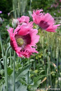 Feathered Poppies