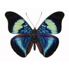 Buy: Panacea Prola Butterfly
