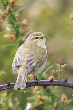Warblers - Mark Hancox Bird Photography
