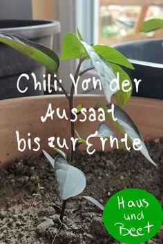 Chili pflanzen - im Garten oder auf dem Balkon. Chilis sind einfache Pflanzen, die man in der Gartenerde, im Gewächshaus, Hochbeet oder in Blumentöpfen anbauen kann. Sie sind so hübsch, dass sie immer zur Deko dienen. Hier erfährt ihr, wie ihr die Chilis pflanzt, ob sie winterhart sind und wie ihr eine besonders scharfe Chilischote erntet #chili #biogemüse #gemüseanbauen #gemüsegarten Love Garden, Grow Your Own Food, Beets, Green, Partys, Zero Waste, Tricks, Gardening, Outdoor