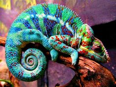 Rainbow Chameleon lizard