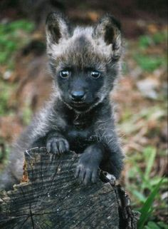 Wolf Pup                                                                                                                                                                                 More