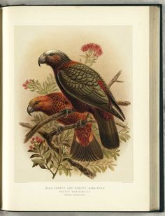 Framed Print-Kaka, Nestor meridionalis (variety on Wooden frame with mat made in the USA Bird Illustration, Botanical Illustration, Illustrations, Bird Prints, Framed Prints, Kiwiana, Bird Drawings, Contemporary Artwork, Vintage Birds