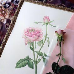 #rose #botanicalart #watercolor #watercolour #八木バラ園