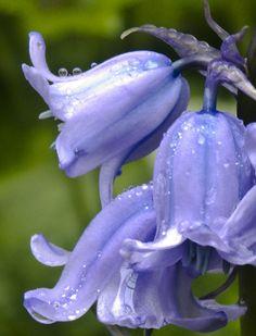 Raindrops on bluebells