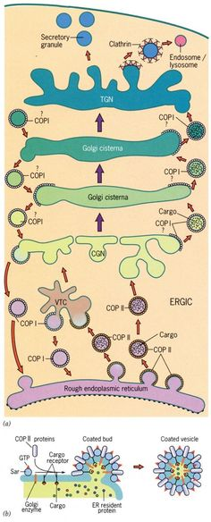 eukaryotic cell structure and function chart