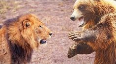 Lion vs Bear Real Fight To Death | Lion vs Bear Animal Face Off | Anidis