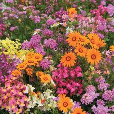 annual flowers | Flowers Flower Seeds Hardy Annual Seeds Easy Annuals 'Fairy Mixed'