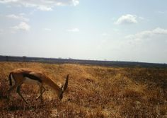 I just classified this image on Snapshot Serengeti! Thanks to Snapshot Serengeti I know the difference between Grant's and Thompson's Gazelle!