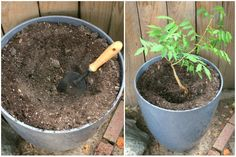 Learn how to grow wisteria in a pot. Our post shows you how to propagate and has a video tutorial to step you through process. You'll love all the ideas. Wisteria Trellis, Wisteria Bonsai, Container Gardening Vegetables, Container Plants, Gardening For Beginners, Gardening Tips, Wisteria How To Grow, Succulents Garden, Planting Flowers