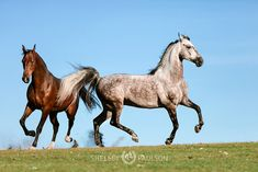shelleypaulson All The Pretty Horses, Beautiful Horses, American Saddlebred, Types Of Horses, White Horses, Horse Breeds, Horse Photography, Animals Of The World, Thoroughbred