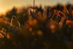 Atardecer entre arbustos Floral, Dandelion, Pastel, Flowers, Flower Photos, Shrubs, Naturaleza, Plants, Fotografia