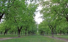 Image result for pecan tree