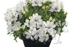 402023 Alstroemeria x hybrida Inticancha® Magic White