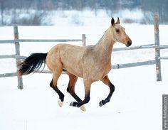 Akhal-teke horses for sale - colt Pamir(Pai - Rovana)