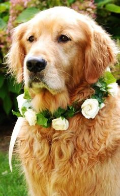 Golden dog wedding flower crown ❀Flowers in their coats❀ I love with this photo. Would love to have a Golden Retriever in my wedding :) Golden Retriever Wedding, Dogs Golden Retriever, Golden Retrievers, Red Retriever, Wedding Girl, Dog Wedding, Rain Wedding, Dream Wedding, Spring Wedding