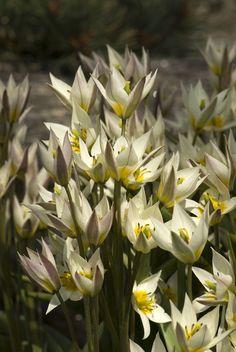 Tulpan Turkestanica, väldoftande botanisk tulpan, tulpanlökar - Klostra