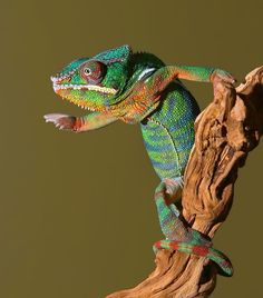 Panther Chameleon by Scott Cromwell on 500px