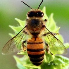 Photo by Kim Nelson Buzz Bee, Bee Photo, Bee Skep, Bees And Wasps, Bee Art, Insect Art, Bugs And Insects, Bee Happy, Save The Bees
