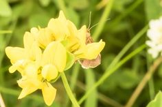 'Brauner Falter hinter gelber Blüte' von toeffelshop bei artflakes.com als Poster oder Kunstdruck $19.41