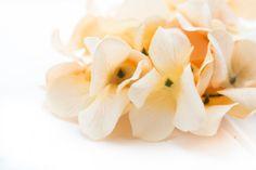 Cream Hydrangeas  OVER 30 Silk Hydrangea Blossoms by simplyserra, $5.25