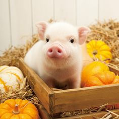Artlist Collection calendar: pig with pumpkins Cute Baby Pigs, Cute Piglets, Cute Baby Animals, Animals And Pets, Funny Animals, Baby Teacup Pigs, Farm Animals, Baby Piglets, Small Pigs