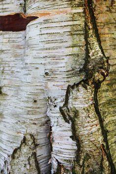 Birch Bark - Julie Shackson