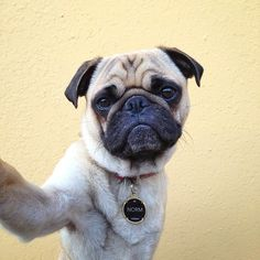 Photographer Scores a Viral Hit with His Instagram Pug Shots of His Dog Norm