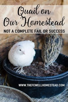 The Pros and Cons of Quail on the Homestead. The Fewell Homestead