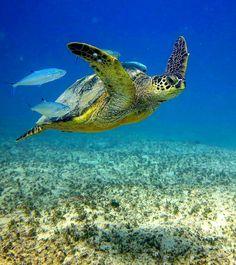 Sea Turtle Turtle Day, Turtle Love, Sea Turtle Wallpaper, Hawaiian Sea Turtle, Turtle Habitat, Baby Sea Turtles, Undersea World, Tortoise Turtle, Wild Creatures