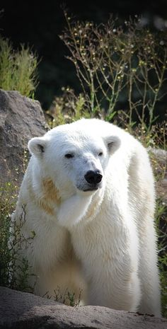 Fantastic capture of this amazingly beautiful animal! Polar Bears are really something Special!