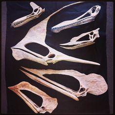 Tupandactylus | ... , Tupandactylus, Tupuxuara and pterosaur #6 (not yet classified