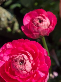 Ranunkler, min favoritt i krukker nå Rose, Flowers, Plants, Pink, Plant, Roses, Royal Icing Flowers, Flower, Florals