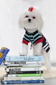 Stella and my Maltese books collection