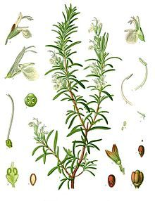 In the Middle Ages, rosemary was associated with weddings: the groom and wedding guests would all wear a sprig. A rosemary branch tied with silken ribands was also presented to wedding guests, as a symbol of love and loyalty.  I would totally do this ;)