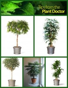 Plants for indoors on pinterest office plants low light plants and plants - Tall office plants ...
