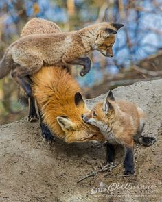 """""""i am in charge of the kids today - red fox"""" Animals And Pets, Baby Animals, Cute Animals, Wild Animals, My Spirit Animal, My Animal, Beautiful Creatures, Animals Beautiful, Fuchs Baby"""