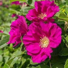 Image result for rosa rugosa rubra