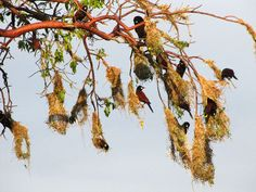montezume oropendola weaves its nests out of small vines and grass (Image credits: Simon Valdez)