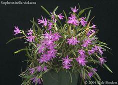 sophronitellaplant-jpg.595 (741×540)