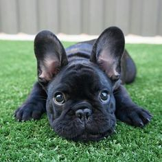The major breeds of bulldogs are English bulldog, American bulldog, and French bulldog. The bulldog has a broad shoulder which matches with the head. French Bulldog Clothes, Cute French Bulldog, French Bulldog Puppies, Cãezinhos Bulldog, Bulldog Breeds, Baby Bulldogs, Cute Puppies, Cute Dogs, Dogs And Puppies