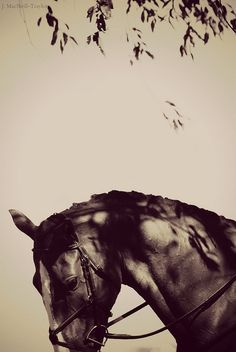 dappled sunlight by jennifer macneill, via Flickr #horsephotography