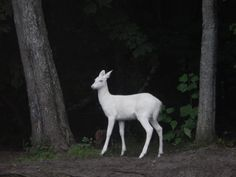 Albino White-Tailed Deer Photo by Sarah S. -- National Geographic Your Shot Animals And Pets, Baby Animals, Cute Animals, Beautiful Creatures, Animals Beautiful, The Zoo, Melanism, Deer Photos, Animal Tumblr