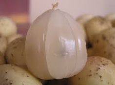 robert von rotz  roy : Natural remedies with Langsat (Lanzones) fruit, tr...