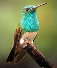 Snowy-Bellied Hummingbird (Amazilia edward) Found in Costa Rica, Panama and extreme northwestern Colombia, near the border of Panama.